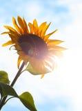 Girasol en el sol Foto de archivo libre de regalías