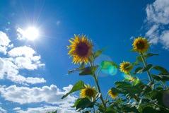 Girasol en el sol Fotografía de archivo