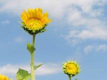 Girasol en jardín Imagen de archivo libre de regalías
