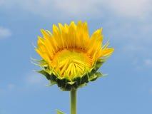 Girasol en jardín Foto de archivo libre de regalías