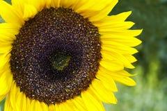 Girasol en jardín soleado fotos de archivo libres de regalías