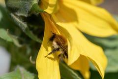Girasol en la abeja del sol incluida Imagen de archivo