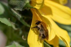 Girasol en la abeja del sol incluida Foto de archivo libre de regalías