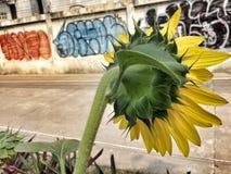 Girasol en la calle de Bangkok fotografía de archivo libre de regalías