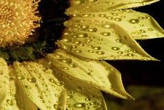 Girasol en la lluvia Imagen de archivo libre de regalías