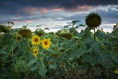 Girasol en la luz de la puesta del sol Fotos de archivo libres de regalías