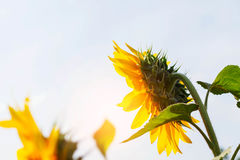 Girasol en la luz del sol Fotos de archivo libres de regalías