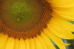 Girasol en la plena floración Fotografía de archivo