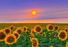 Girasol en la puesta del sol Imagen de archivo