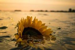 Girasol en la puesta del sol Fotografía de archivo