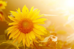 Girasol en luz del sol caliente Fotos de archivo
