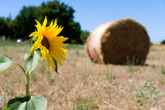 Girasol en tierras de labrantío Imagen de archivo libre de regalías