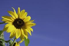 Girasol en un cielo azul claro imágenes de archivo libres de regalías
