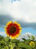 Girasol En un día de verano lluvioso Imagen de archivo libre de regalías