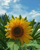 Girasol feliz Foto de archivo libre de regalías