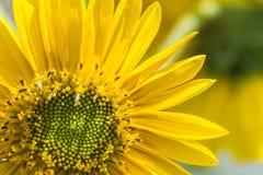 Girasol florecido en el verano Fotografía de archivo libre de regalías