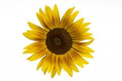 Girasol floreciente en blanco Fotografía de archivo libre de regalías