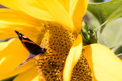 Girasol floreciente en el verano Foto de archivo