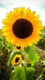 Girasol floreciente grande en el campo, puesta del sol Fotografía de archivo libre de regalías