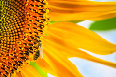 Girasol floreciente y polinización de él abeja de la miel Fotografía de archivo