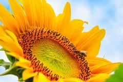 Girasol floreciente y polinización de él primer de la abeja de la miel Fotografía de archivo libre de regalías