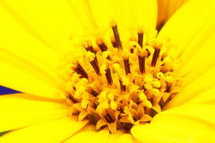 Girasol flower close up Stock Images