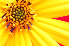 Girasol flower close up. Invoice of leaves of a flower Royalty Free Stock Photo