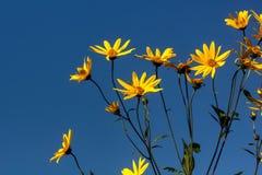 Girasol. Cultivated flower. The girasol flower growing in a summer garden Stock Image