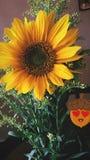 Girasol. The flowers so beautiful Royalty Free Stock Photo