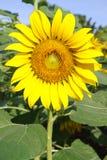 Girasol, girasol floreciente en campo de los girasoles Fotos de archivo