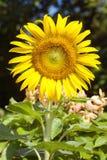 Girasol, girasol floreciente en campo de los girasoles Fotografía de archivo libre de regalías