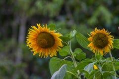 Girasol grande amarillo en la floración Imagenes de archivo