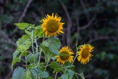 Girasol grande amarillo en la floración Foto de archivo libre de regalías