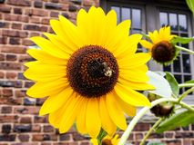 Girasol grande del primer con la abeja Fotografía de archivo