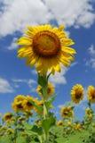Girasol grande en el jardín y el cielo azul Imagen de archivo libre de regalías