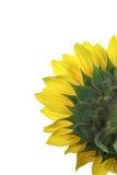 Girasol - helianthus annuus Imagen de archivo