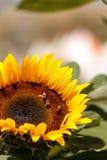 Girasol, helianthus annuus, con las abejas Fotografía de archivo