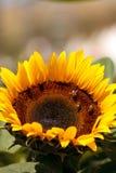 Girasol, helianthus annuus, con las abejas Imagenes de archivo
