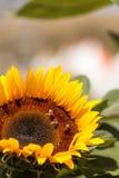 Girasol, helianthus annuus, con las abejas Foto de archivo libre de regalías