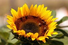 Girasol, helianthus annuus, con las abejas Fotografía de archivo libre de regalías