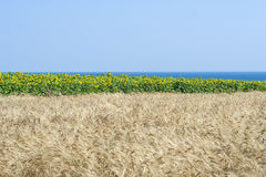 Girasol, helianthus. A field of helianthus in a sunny day Stock Photos