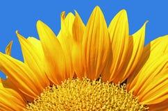 Girasol hermoso Foto de archivo libre de regalías