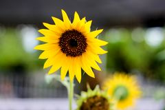 Girasol hermoso amarillo brillante con un fondo agradable del bokeh en el jardín imagen de archivo