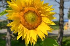 Girasol hermoso con una abeja Foto de archivo