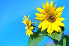 Girasol hermoso con una abeja contra el cielo Imagen de archivo libre de regalías