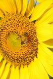 Girasol hermoso en el jardín Fotografía de archivo libre de regalías