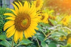 Girasol hermoso en jardín Imagen de archivo