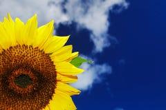 Girasol hermoso en un fondo de un cielo azul Imagenes de archivo