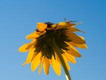 Girasol iluminado con la abeja en ella Foto de archivo libre de regalías