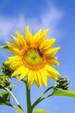 Girasol joven de la planta floreciente contra el cielo Fotografía de archivo libre de regalías